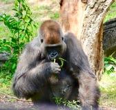 Goryl żuć na trawie obraz royalty free