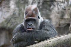 goryl Dorosły dominujący męski goryl jest przyglądający kamera Obrazy Stock