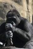 goryl małpa Zdjęcia Stock