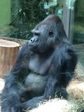 Goryl przy zoo Obrazy Royalty Free