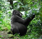 Goryl w zielonej roślinności Obraz Stock