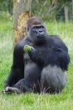 Goryla łasowania brokuły Zdjęcie Stock