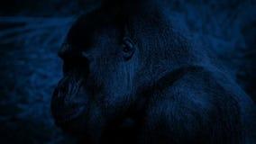 Goryla łasowanie Przy nocą zbiory wideo
