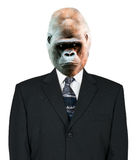 Goryla biznesmena portret, kostium i krawat odizolowywający, Zdjęcia Stock