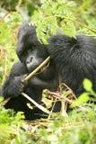 Goryla Rwanda Afryka zwierzęcy tropikalny Lasowy dziki Zdjęcia Stock