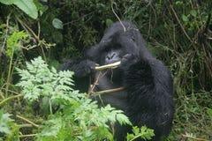 Goryla Rwanda Afryka zwierzęcy tropikalny Lasowy dziki Fotografia Stock
