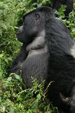 Goryla Rwanda Afryka zwierzęcy tropikalny Lasowy dziki Zdjęcia Royalty Free