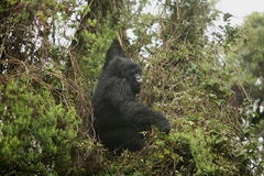 Goryla Rwanda Afryka zwierzęcy tropikalny Lasowy dziki Zdjęcie Stock