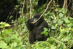Goryla Rwanda Afryka zwierzęcy tropikalny Lasowy dziki Obrazy Royalty Free