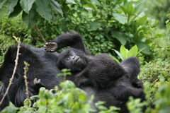 Goryla Rwanda Afryka zwierzęcy tropikalny Lasowy dziki Zdjęcie Royalty Free