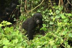 Goryla Rwanda Afryka zwierzęcy tropikalny Lasowy dziki Obrazy Stock