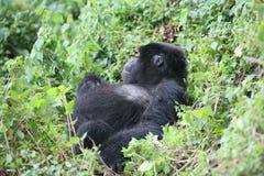 Goryla Rwanda Afryka zwierzęcy tropikalny Lasowy dziki Fotografia Royalty Free