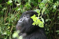 Goryla Rwanda Afryka zwierzęcy tropikalny Lasowy dziki Obraz Royalty Free