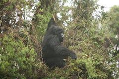 Goryla Rwanda Afryka zwierzęcy tropikalny Lasowy dziki Obraz Stock