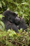 goryla Rwanda silverback Fotografia Royalty Free