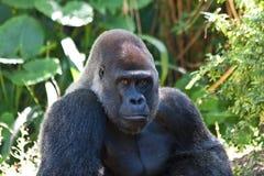 goryla silverback zdjęcie royalty free