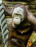 Goryle w Moskwa zoo obraz stock