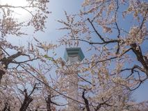 Goryokaku塔,函馆,北海道,日本 使用在前景的充分开花的樱花 库存照片