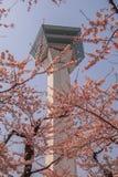 Goryokaku塔,函馆,北海道,日本 使用在前景的充分开花的樱花 库存图片