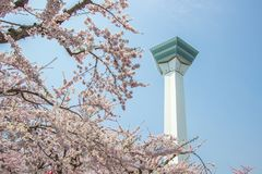 Goryokaku塔,函馆,北海道,日本 使用在前景的充分开花的樱花 图库摄影