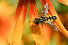 Gorzalka lat. Syrphidae on the petals of rudbeckia Royalty Free Stock Image