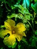 Gorzki gourd& x27; s kwiat obrazy royalty free