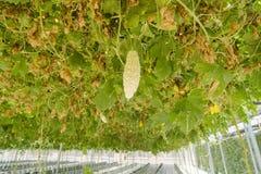 Gorzki melon w organicznie gospodarstwie rolnym fotografia stock