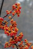 Gorzki Słodki winograd w zimie Zdjęcia Royalty Free
