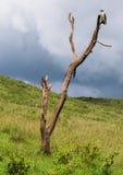 Gos o sparviero sull'albero in Africa Immagini Stock