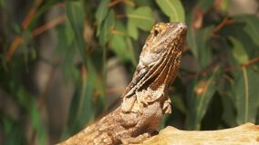 GOSFORD,NSW, AUST- AUG, 14, 2014: close up of a a frilled neck lizard sits on top of a log