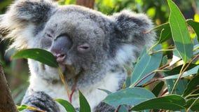 GOSFORD,NSW, AUST- JUL, 2, 2014: close up of koala eating gum leaves
