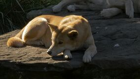 GOSFORD,NSW, AUST- JUL 2, 2014: australian dingo on rock