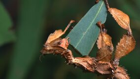 GOSFORD,NSW, AUST- JUL, 2, 2014: spiny leaf insect close up