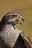 Goshawk. Royalty Free Stock Photography