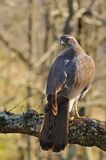 Goshawk. Stock Photos