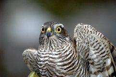 Goshawk Stock Photos