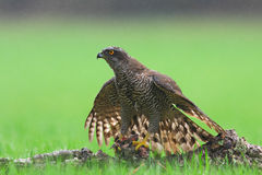 goshawk Stockfotos