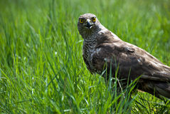 Goshawk Royalty Free Stock Photo