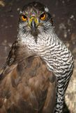 Goshawk (Accipiter gentilis) Royalty Free Stock Photos