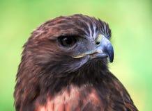 Goshawk (Accipiter gentilis). Closeup portrait of a Goshawk (Accipiter gentilis Royalty Free Stock Image