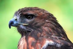 Goshawk (Accipiter gentilis). Closeup portrait of a Goshawk (Accipiter gentilis Royalty Free Stock Photography