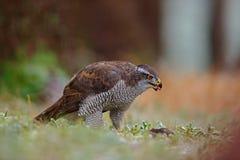 Goshawk, Accipiter gentilis, bird of prey  feeding kill dark squirrel in the forest, nature habitat, France Stock Photos