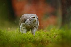 Goshawk, Accipiter gentilis, bird of prey  feeding on killed dark squirrel in the forest, nature habitat, Poland. Wildlife royalty free stock photos
