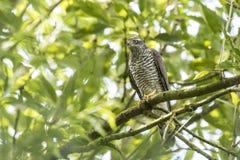 Goshawk, Accipiter-gentilis, die in een boom wordt neergestreken Stock Foto's