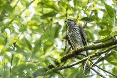 Goshawk, Accipiter-gentilis, die in een boom wordt neergestreken Royalty-vrije Stock Foto