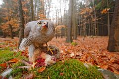 Goshawk, Accipiter gentilis, feeding on killed hare in the forest. Bird of Prey with fur catch in the habitat. Animal behaviour,. Wildlife scene from nature royalty free stock photos