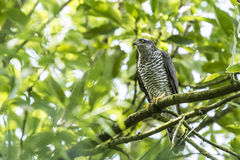 Goshawk, Accipiter gentilis, perched in a tree Royalty Free Stock Photo