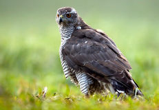 Goshawk(Accipiter gentilis). Poland,Autumn.Goshawk on the meadow near Ilawa town Stock Photography