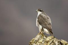 Goshawk, Accipiter gentilis Stock Photography
