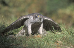 Goshawk, Accipiter gentilis Royalty Free Stock Photography